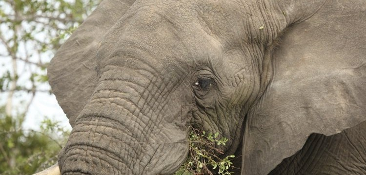 Indlovu (elephant)